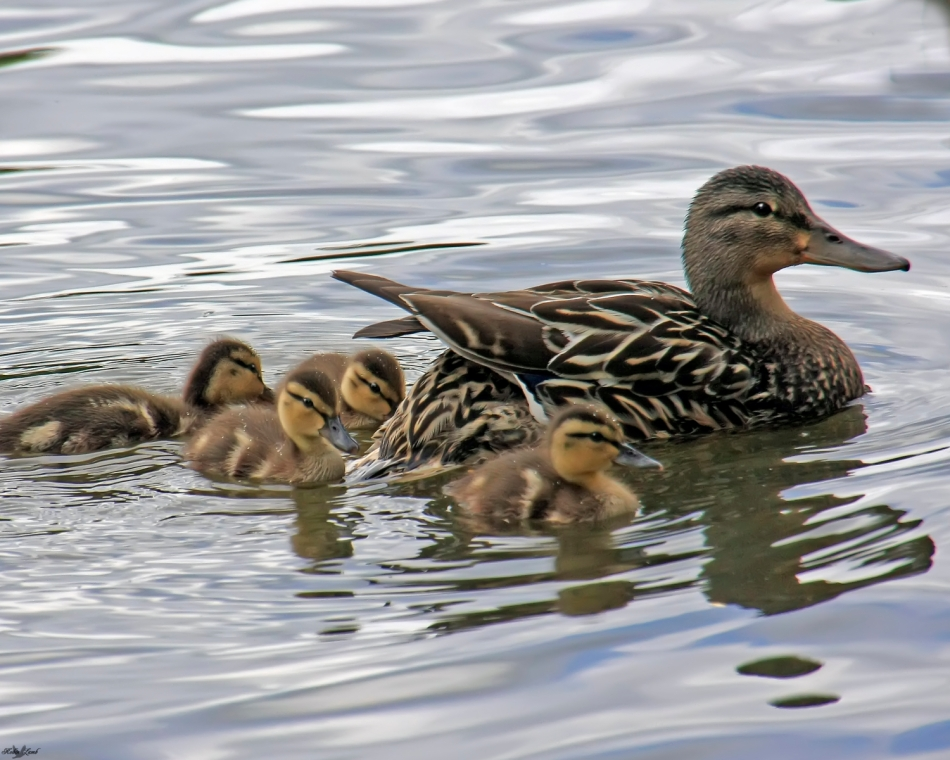A Mallard hen and her brood!