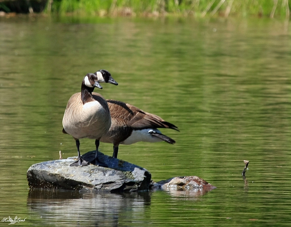 A matched pair of Canada Geese