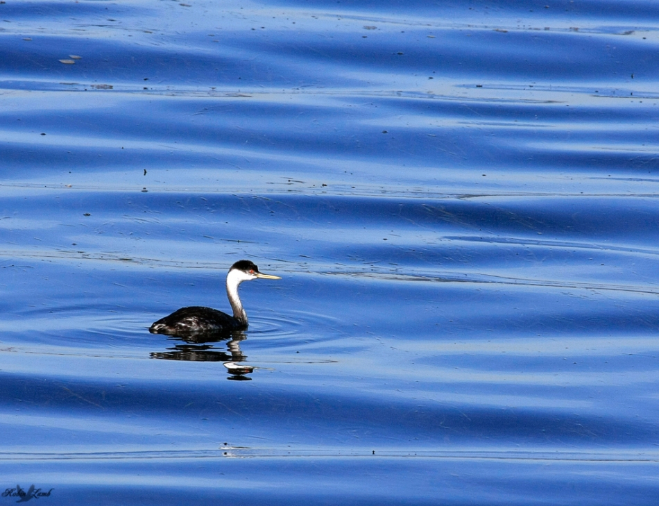 A Western Grebe riding the waves!
