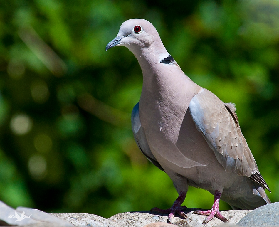 A Eurasian Collared Dove.  Ever on the alert, they are very shy!