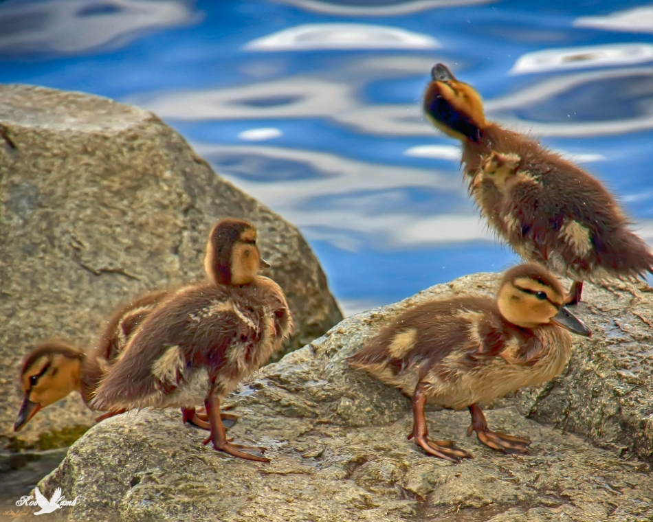 Here's another duckling shot!  I can't resist them!  Something above has definitely got the attention of one of them!