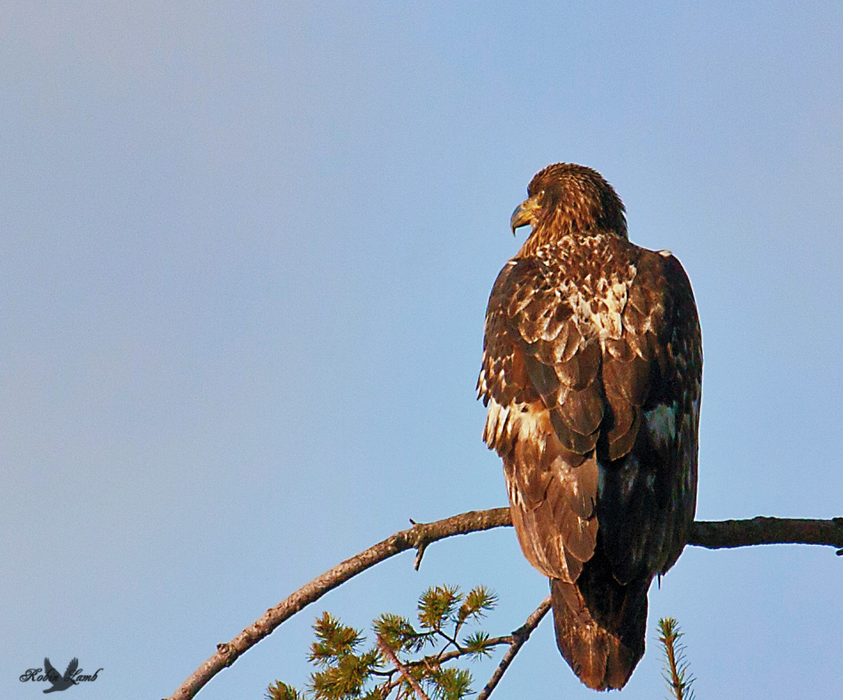 A regal looking immature Bald Eagle!  It'll be a stunner when it gets it's adult plumage!