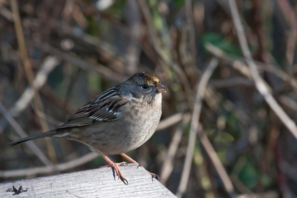 Here's a shot similar to yesterdays.  This time it's a Golden-crowned Sparrow.