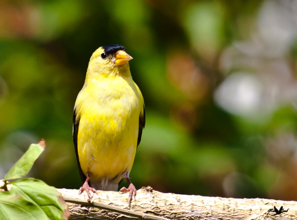 An American Goldfinch is his Spring finery!  Just like a ray of sunshine!