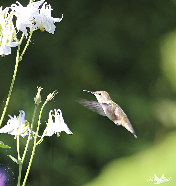 Here's a sweet little Rufous Hummingbird at our flowers in the backyard.  Such pretty little things!