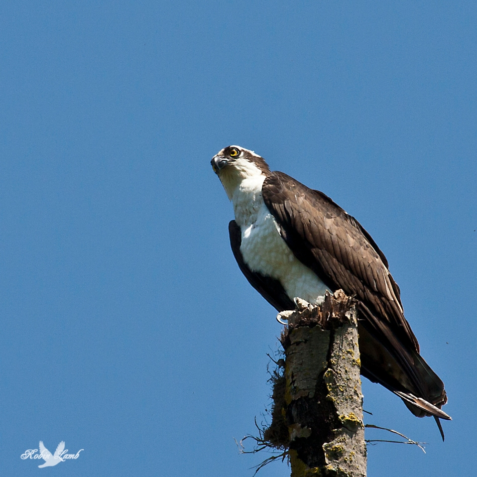 An Osprey high upon it's perch, which was an old dead Birch tree