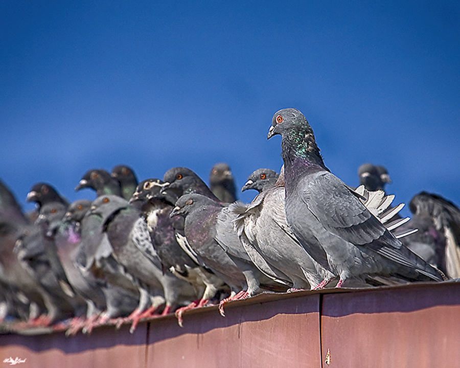 A flock of Pigeons