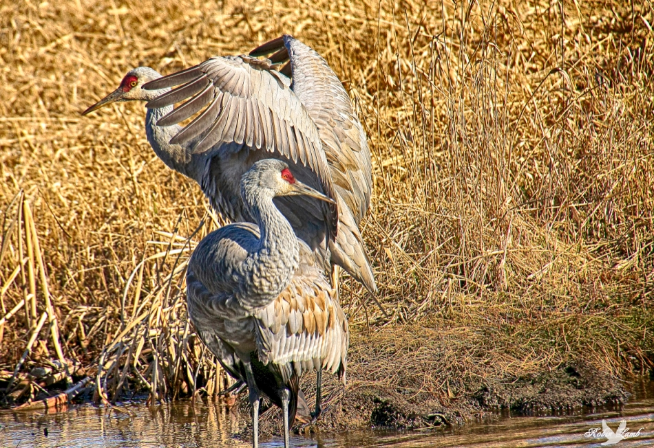 A pair of Sandhill Cranes!