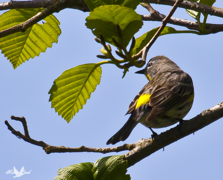 A lovely Yellow-rumped Warbler!  It was hunting bugs from this branch high atop a tree.