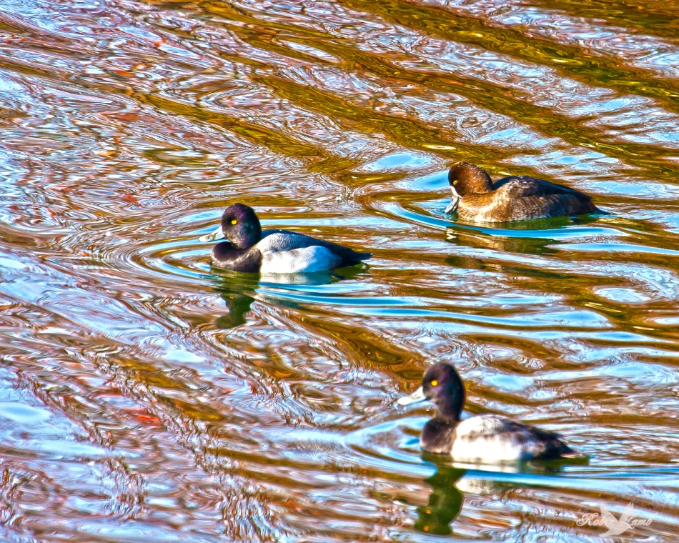 A trio of Scaup swim on the  pond golden by the late afternoon sun