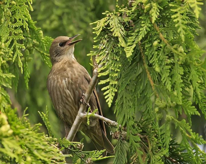 A juvenile European Starling yelling for a parent to come feed it!