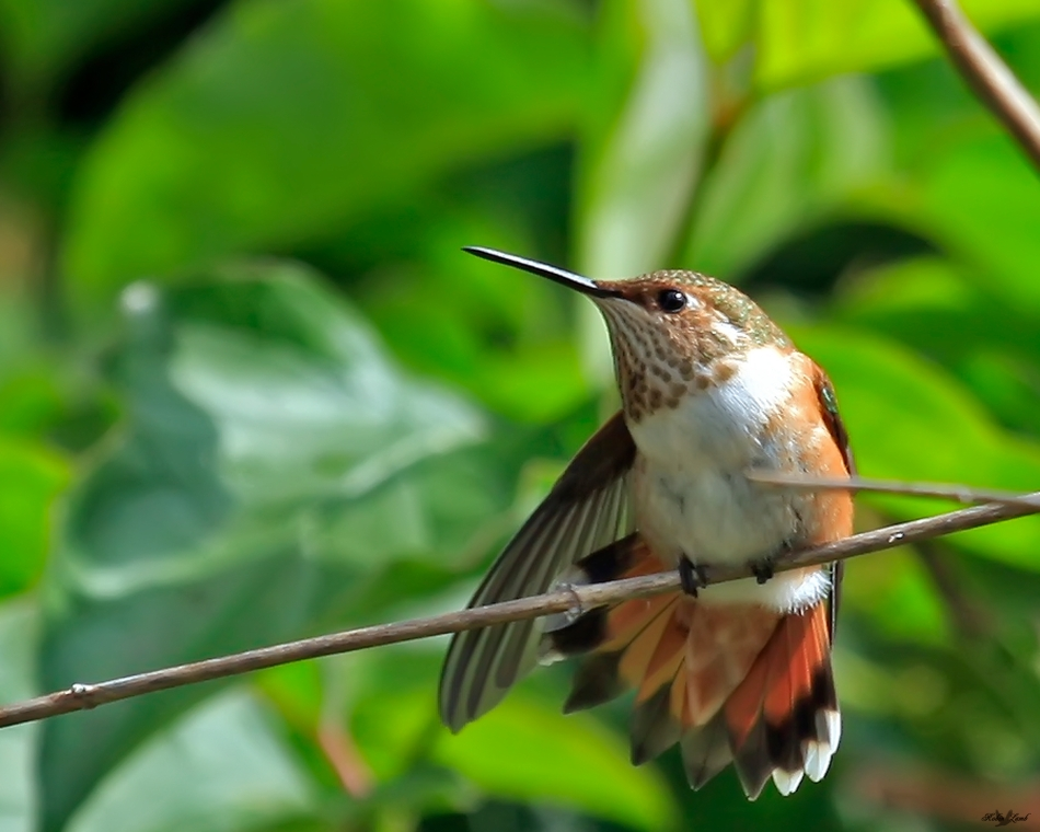 A Rufous Hummingbird has a little stretch