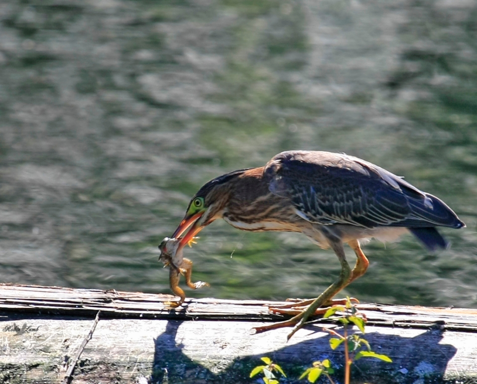 A Green Heron enjoys a yummy frog!