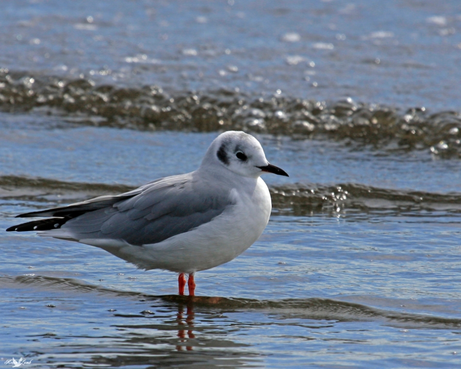 A Bonapart's Gull stands in the surf