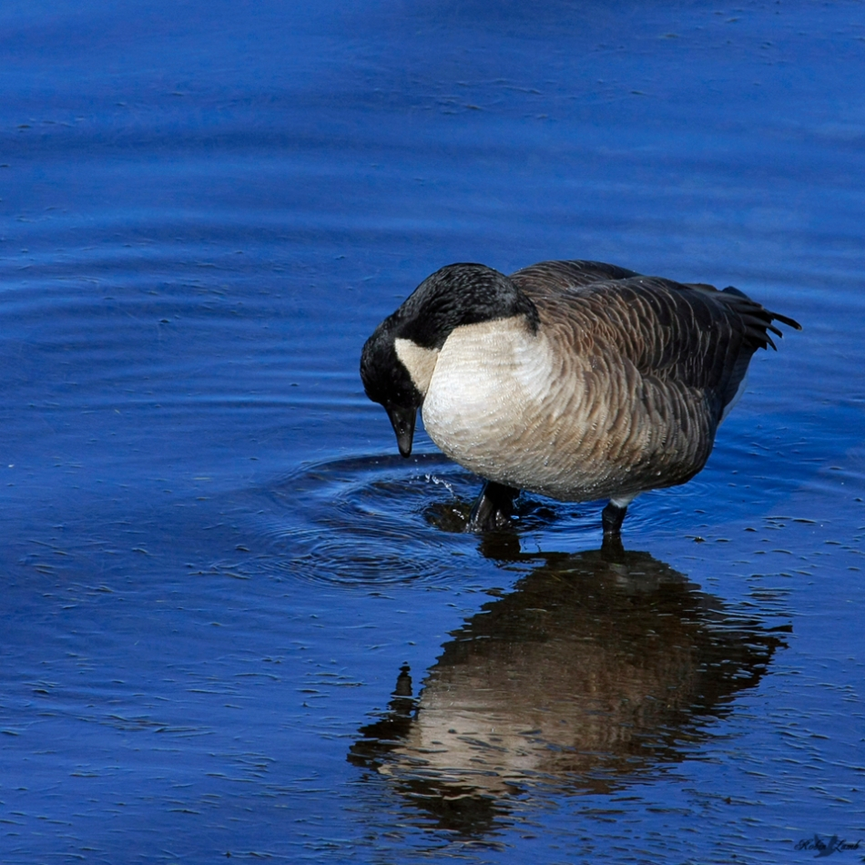 A Canada Goose and it's reflection.  Love the deep blue of the Pacific Ocean!