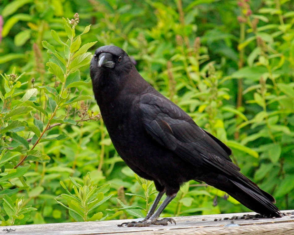 Here's a Crow keeping a close eye on me while I took the shot.  It was enjoying some Sunflower seeds someone left on a fence rail.