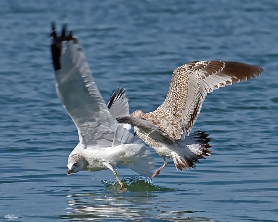 Here's a couple of Gulls have a bit of a tiff.