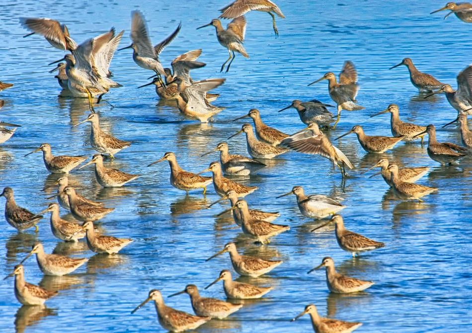 A small flock of Long-billed Dowitchers gather to feed in a shallow pond