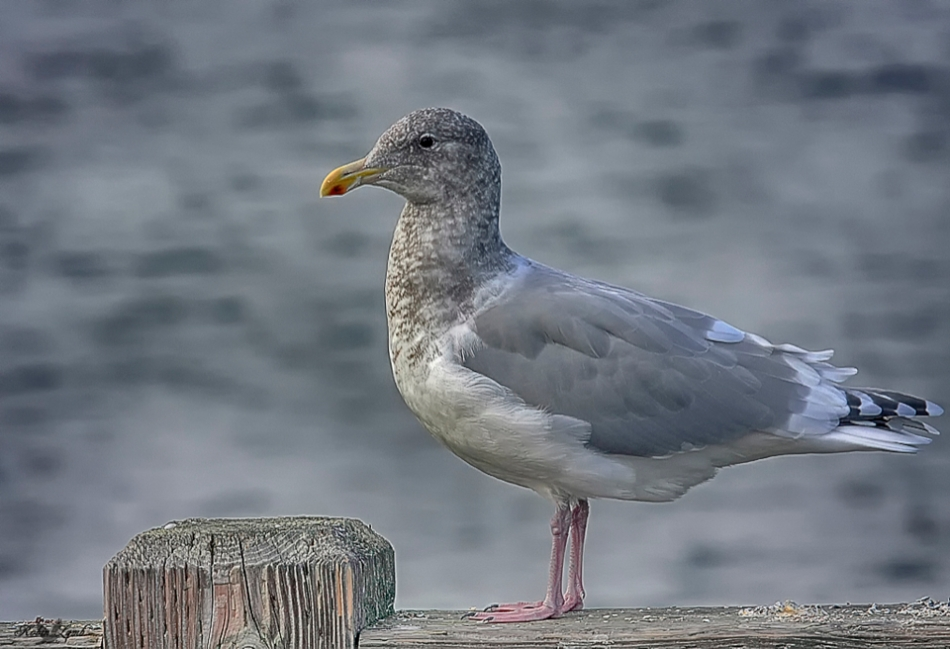 A Herring Gull perches close by in hopes of something to eat!  Such scroungers!