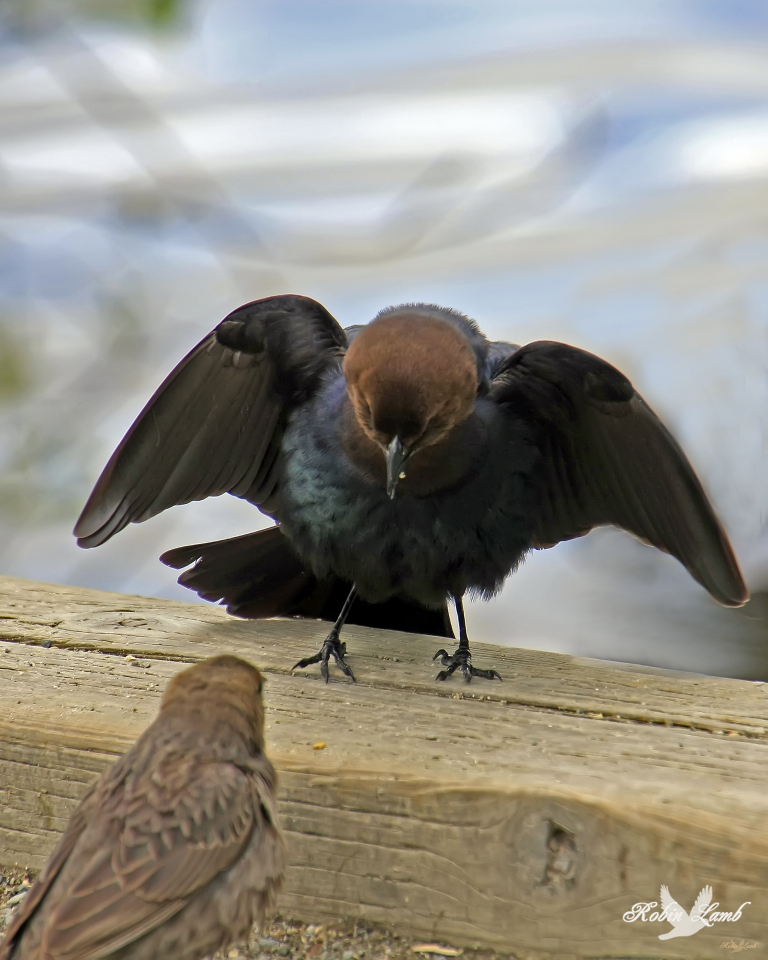 A mister Cowbird trying to make an impression with a mizz Cowbird.  AH, Spring!