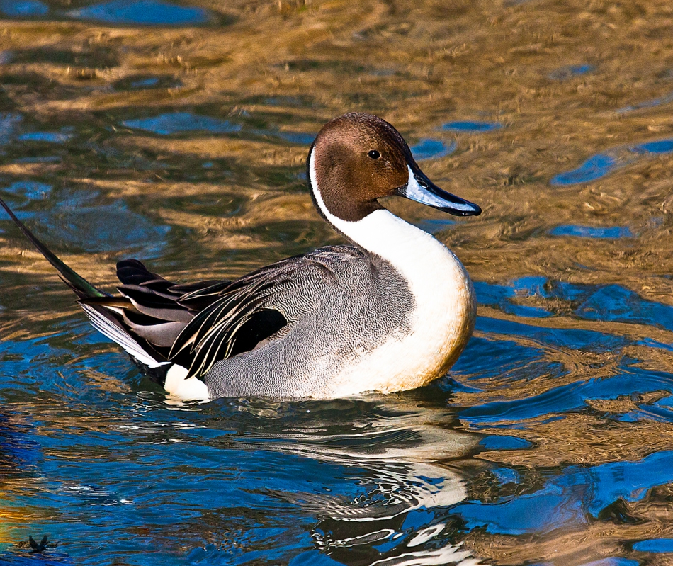Here's another duck on the Golden Pond.  This time a proud Northern Pintail