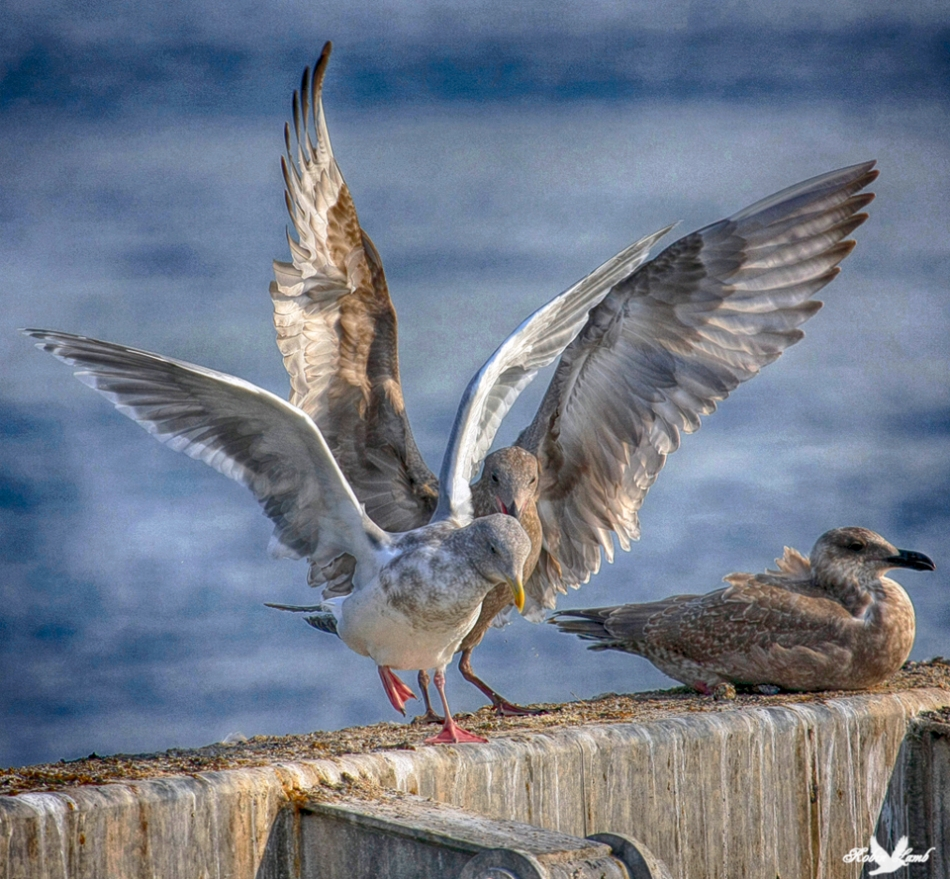 A pari of Gulls jockey for position on a well used perch
