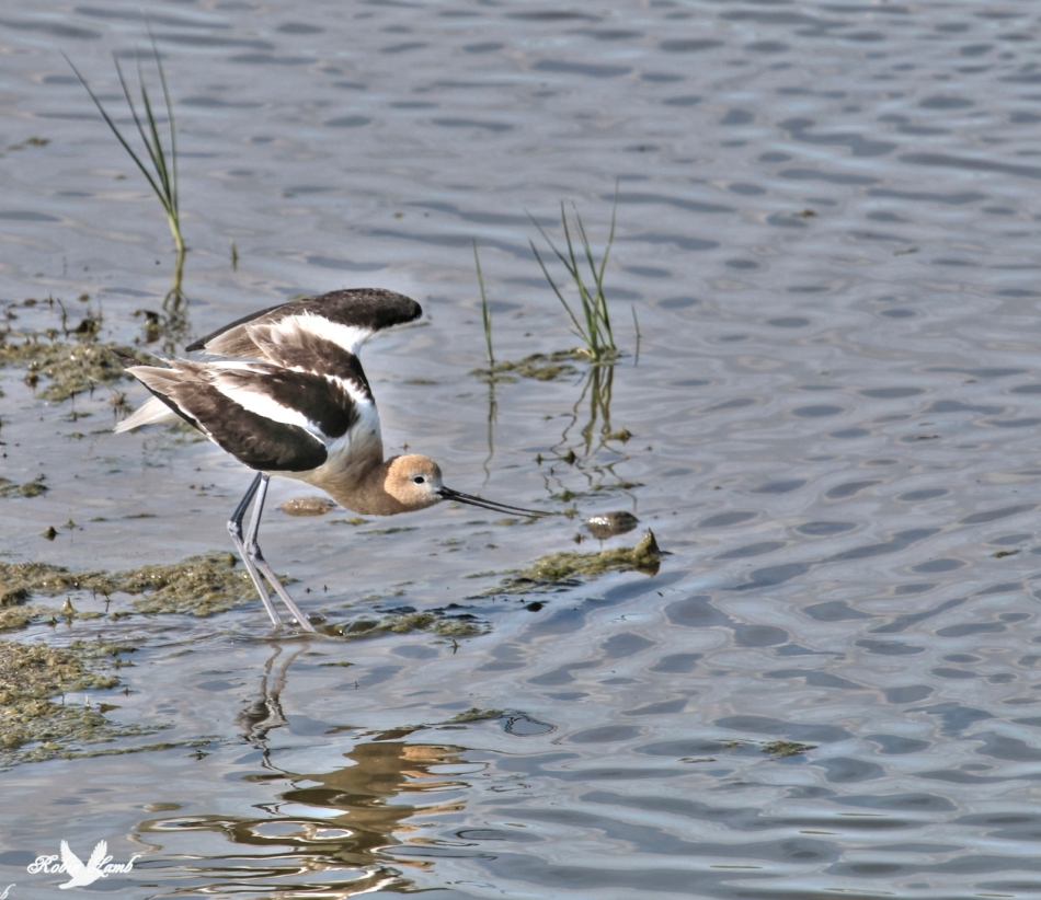 We are just back from a holiday.  We travelled across the country as far as eastern Manitoba.  Here is one of the wonderful sights we say.  An American Avocet.  Quite plentiful on the plains of Saskatchewan.   More to come as I get 2500 photos organized!