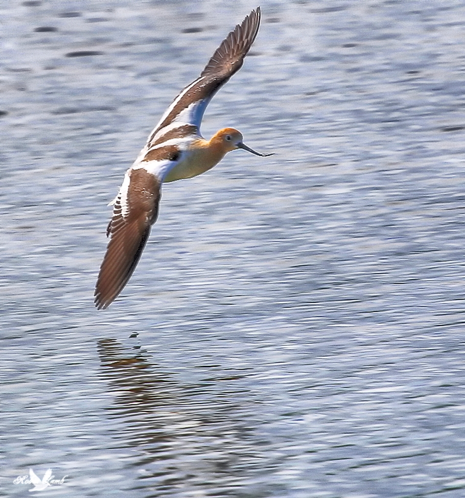 An American Avocet coming in for a landing