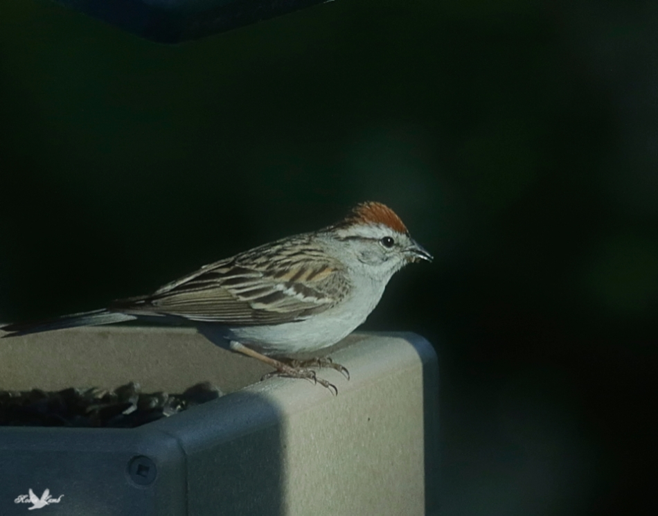 A Chipping Sparrow uses the last of the sun to eat before roosting time