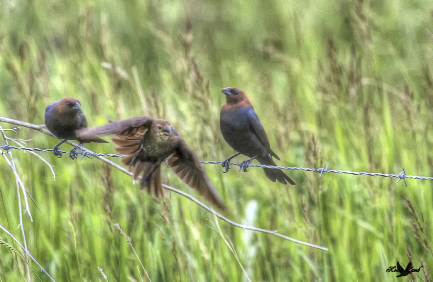 Two male Brown-headed Cowbirds sitting on Barbed wire keep an eye on a female