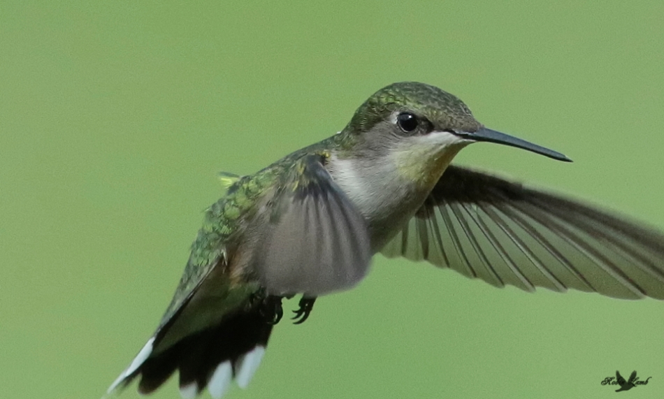 A Ruby-throated Hummingbird at the feeder