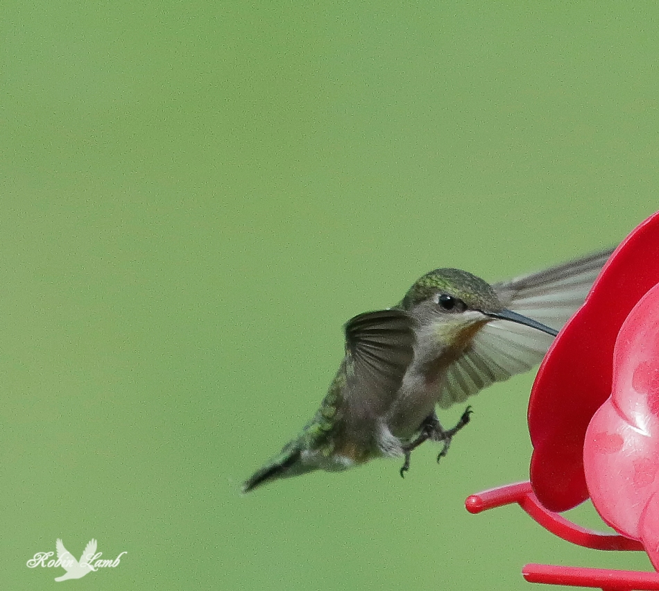 A Ruby-throated Hummingbird coming in for a landing on the feeder