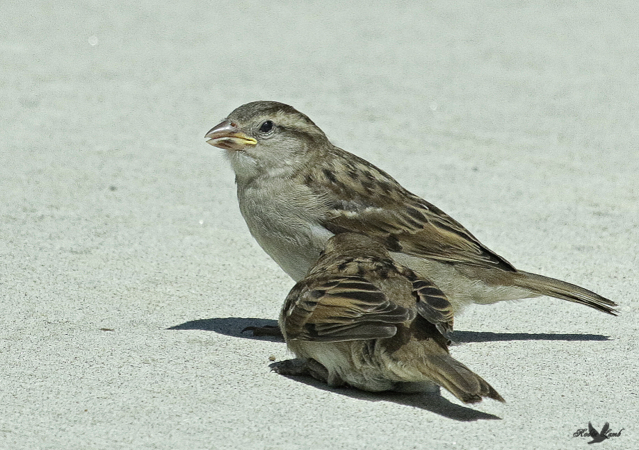 A pair of fledgling House Sparrows waiting for Mum to come and feed them