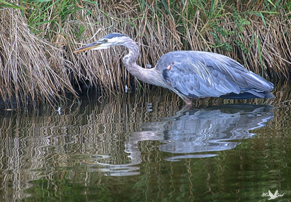 A Great Blue Heron hunting along the edge of a reed bed.  It wasn't having much luck.  I watched for quite awhile and it didn't make a strike.