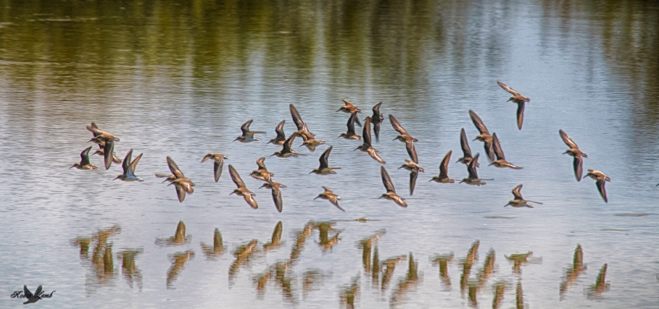 inflightshorebirds
