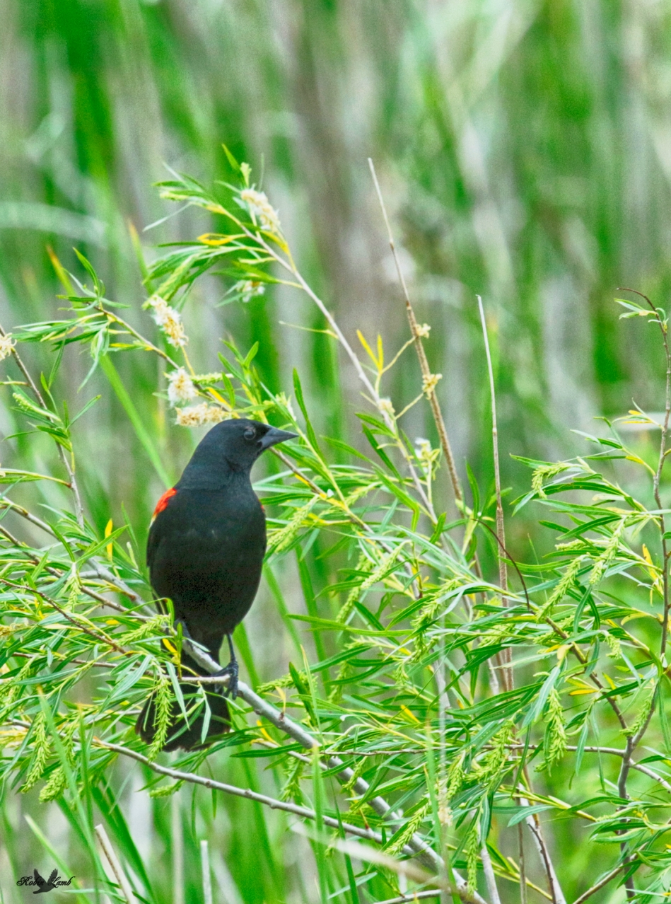 A Red-winged Blackbird sitting in the Willows along the Red River