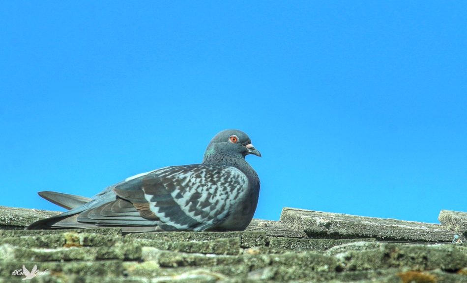 pegeon2