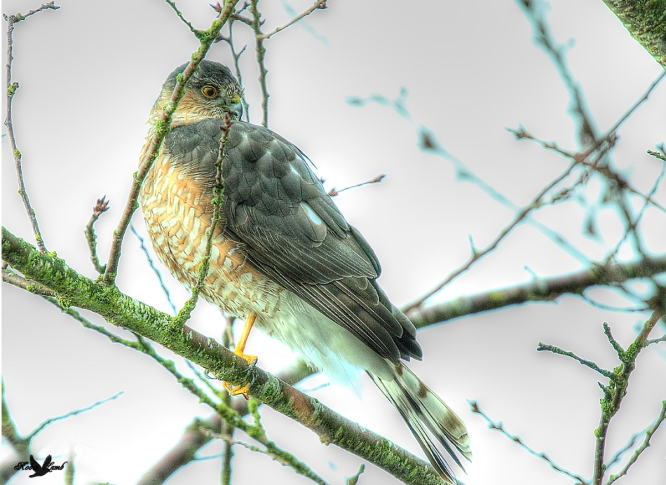 sharpshinnedhawk