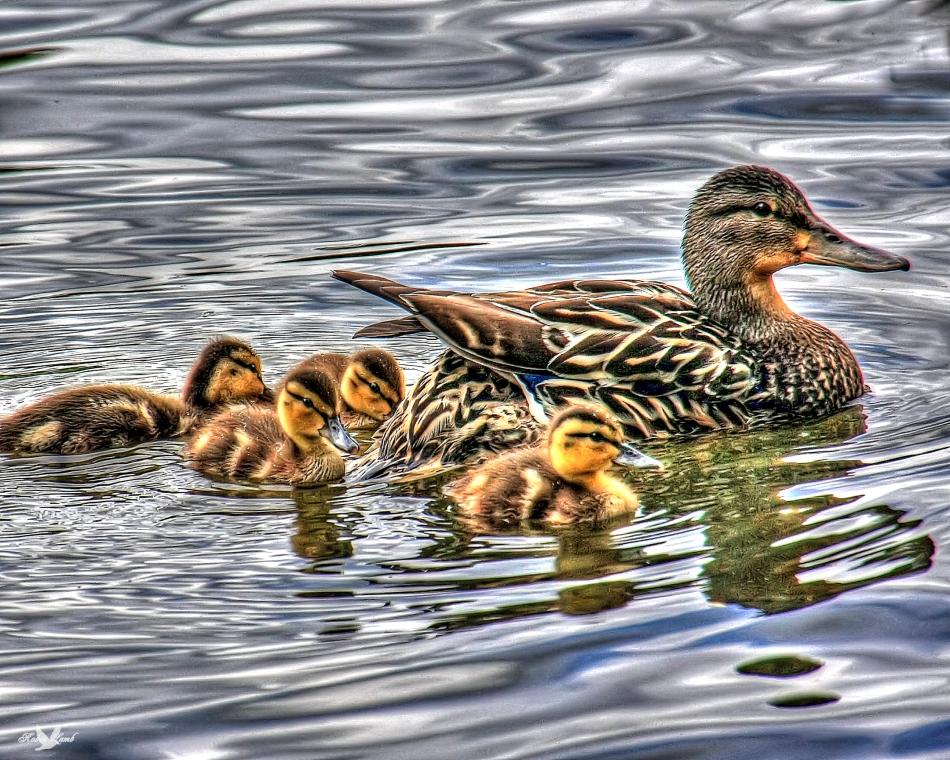 Mallard&Ducklings