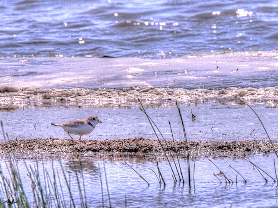 pipingplover2