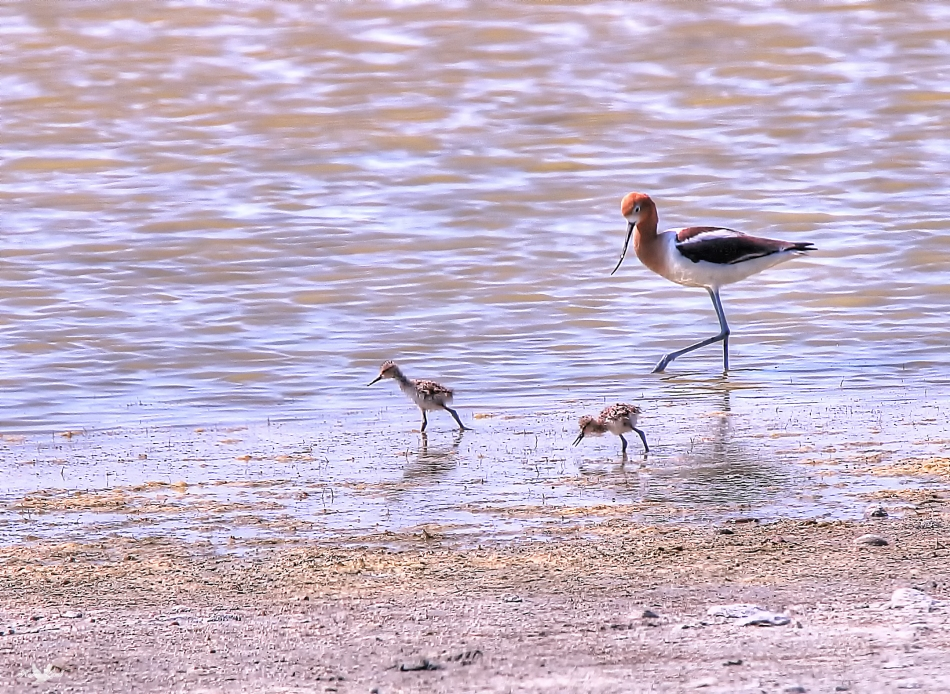 avocet&chicks