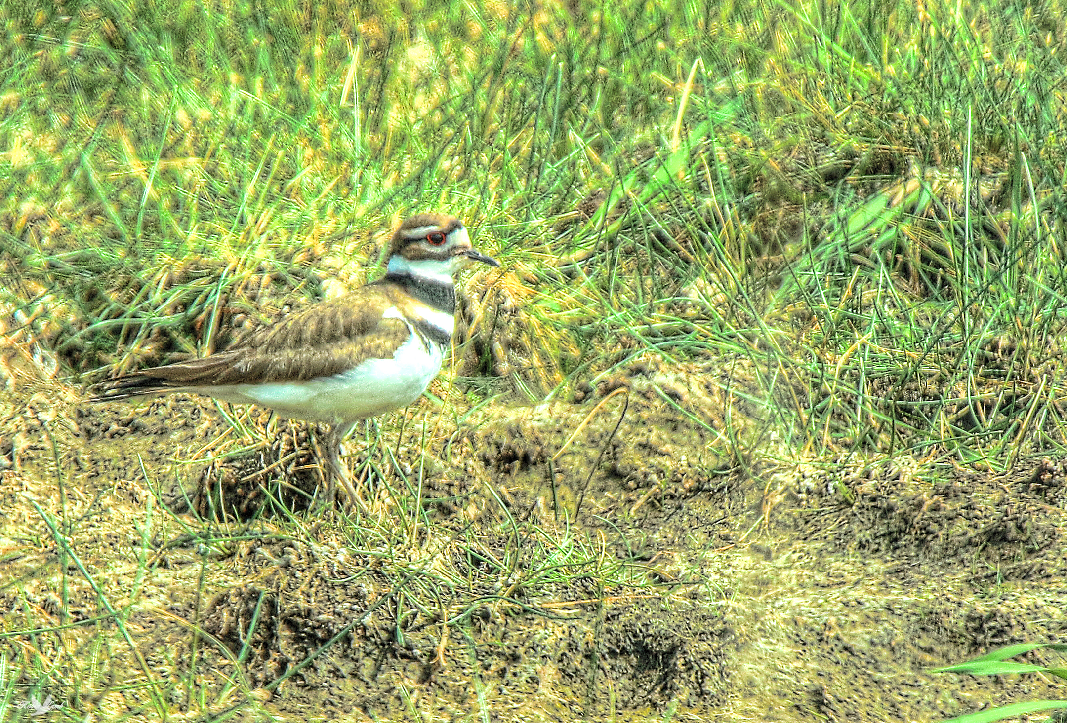 killdeer guys The killdeer is a wide-ranging plover it breeds  killdeer fledgling in the flowers  the nice  i have only seen one of these guys in ecuador.