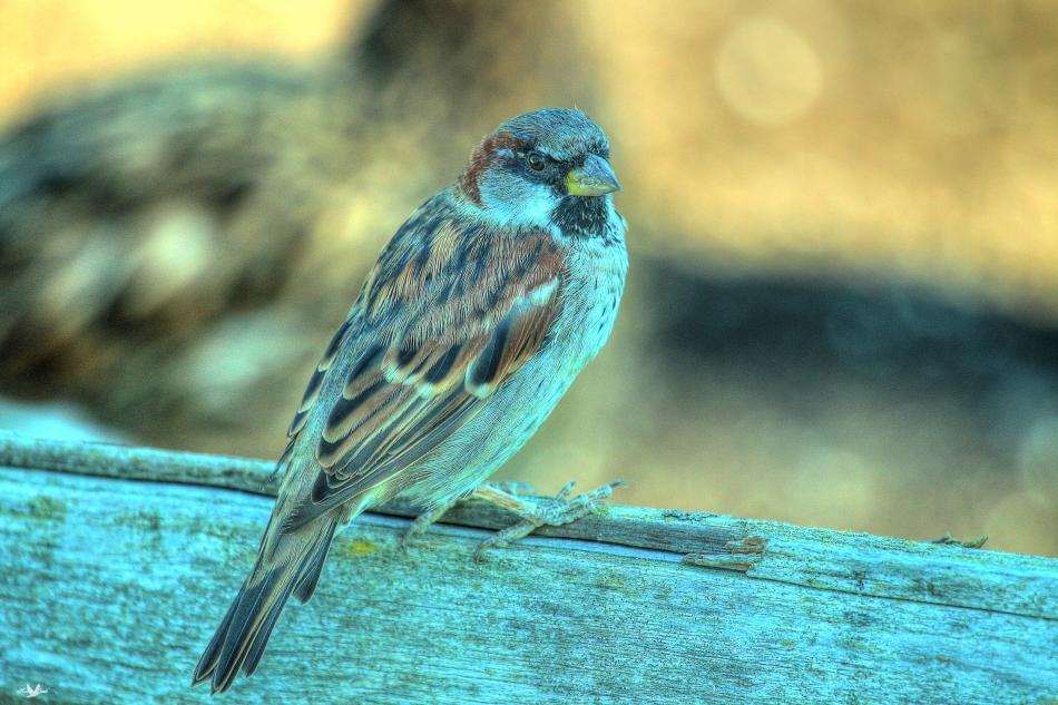 hsparrow