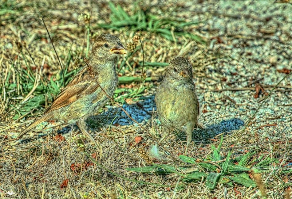 Sparrowmumandyoung