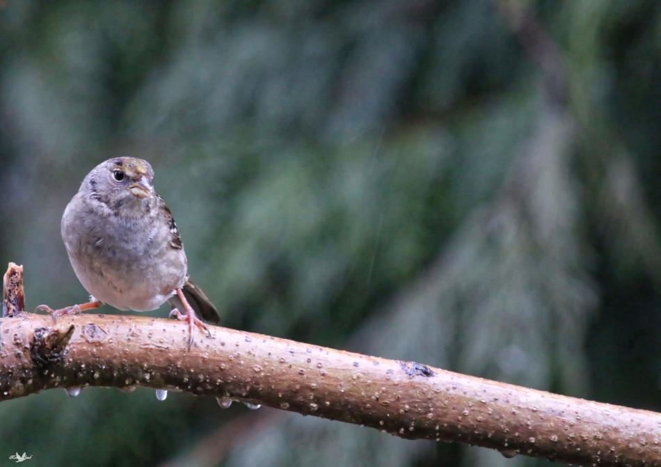 goldencrowedsparrow.jpg