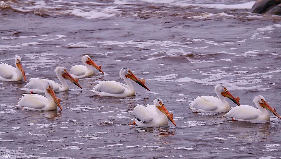 Pelicans3.jpg