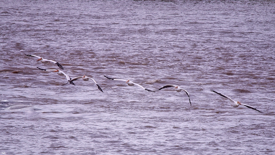 pelicansinflight.jpg