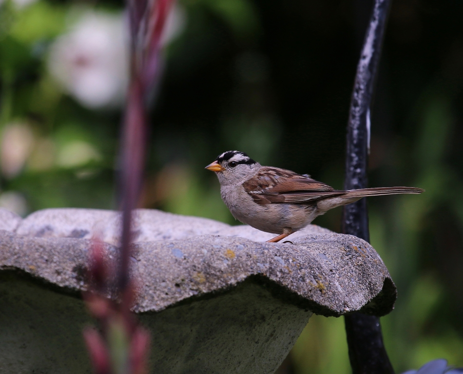 WhiteCSparrow.jpg
