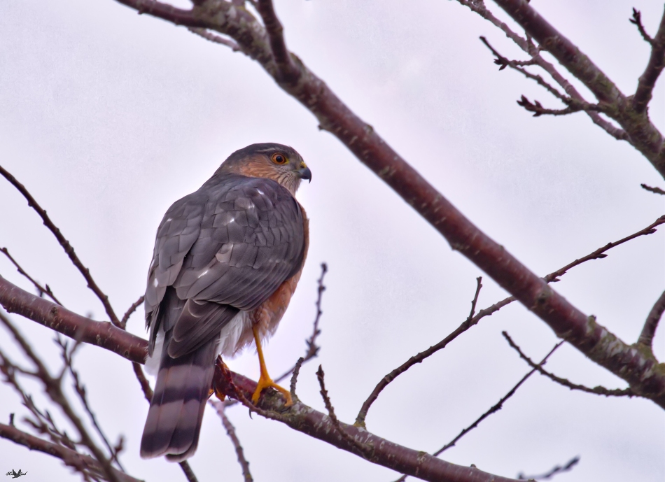 Sharpshinnedhawk.jpg