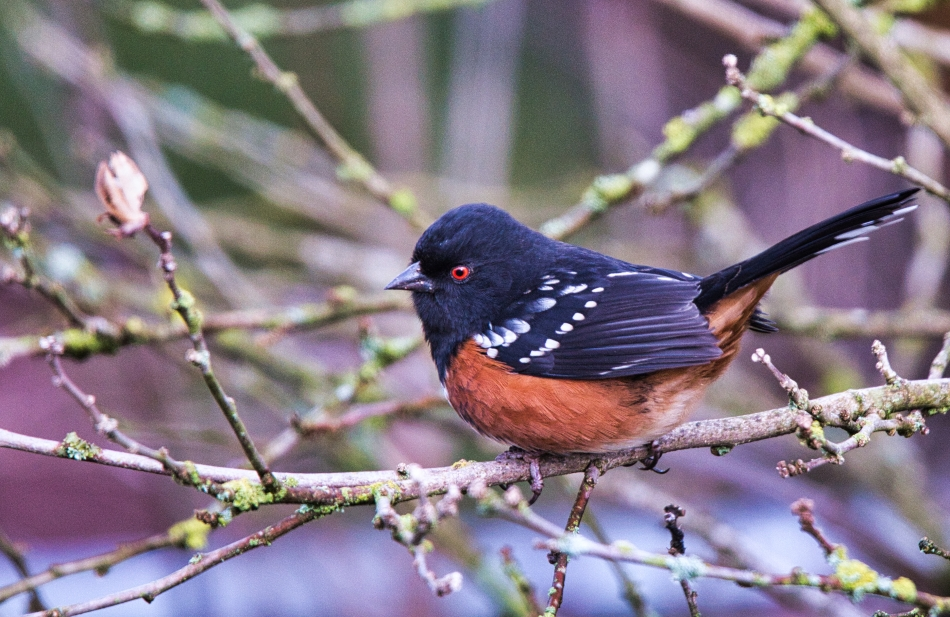 Spotted Towhee  (m).jpeg